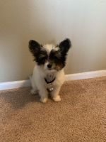 Pomeranian Puppies for sale in Romulus, MI, USA. price: NA