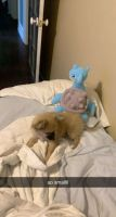 Pomeranian Puppies for sale in Federal Way, WA, USA. price: NA