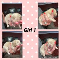 Pomeranian Puppies for sale in Moultrie, GA, USA. price: NA