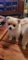 Pomeranian Puppies for sale in El Dorado, AR 71730, USA. price: NA