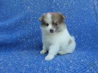 Pomeranian Puppies for sale in Hacienda Heights, CA, USA. price: NA