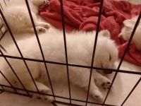 Pomeranian Puppies for sale in Anaheim, CA, USA. price: NA