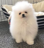 Pomeranian Puppies for sale in Gainesville, FL, USA. price: NA