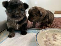Pomeranian Puppies for sale in Volcano, HI, USA. price: NA