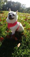 Pomeranian Puppies for sale in San Pedro, CA 90731, USA. price: NA