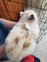 Pomeranian Puppies for sale in Lompoc, CA, USA. price: NA
