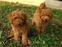 Pomeranian Puppies for sale in San Juan Capistrano, CA, USA. price: NA