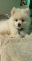 Pomeranian Puppies for sale in Celina, TX, USA. price: NA