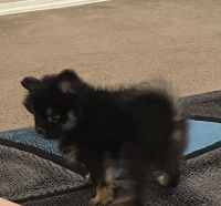 Pomeranian Puppies for sale in Rio Rancho, NM, USA. price: NA