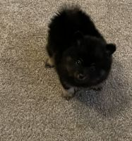 Pomeranian Puppies for sale in Plano, TX, USA. price: NA