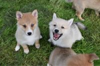 Pomsky Puppies for sale in Houston, TX, USA. price: NA