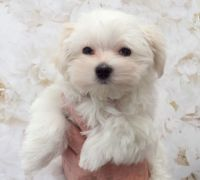 Pomsky Puppies for sale in Toronto, OH 43964, USA. price: NA