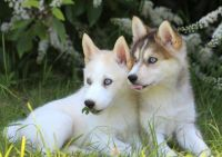Pomsky Puppies for sale in California St, San Francisco, CA, USA. price: NA