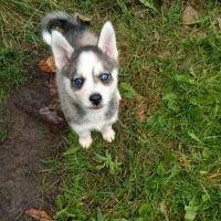 Pomsky Puppies for sale in Port Huron, MI, USA. price: NA