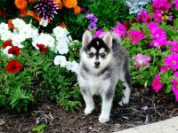 Pomsky Puppies for sale in Washington, DC, USA. price: NA