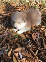 Pomsky Puppies for sale in Tobyhanna, PA 18466, USA. price: NA
