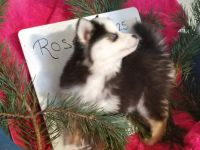 Pomsky Puppies for sale in Mt Gilead, OH 43338, USA. price: NA