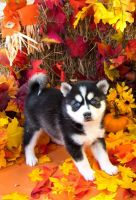 Pomsky Puppies for sale in Canada St, Lake George, NY 12845, USA. price: NA