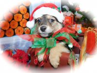 Pomsky Puppies for sale in Hammond, IN, USA. price: NA
