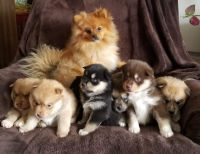 Pomsky Puppies for sale in Lyndonville, Lyndon, VT 05851, USA. price: NA