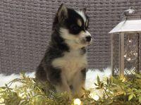 Pomsky Puppies for sale in Fredericksburg, OH 44627, USA. price: NA