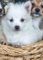Pomsky Puppies for sale in Ann Arbor, MI, USA. price: NA