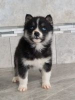 Pomsky Puppies for sale in Nappanee, IN 46550, USA. price: NA