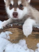 Pomsky Puppies for sale in Staples, MN 56479, USA. price: NA