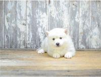 Pomsky Puppies for sale in Dallas, TX 75201, USA. price: NA