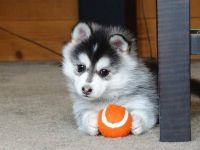 Pomsky Puppies for sale in Los Angeles, CA 90021, USA. price: NA