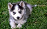 Pomsky Puppies for sale in 13991 US-41, Tracy City, TN 37387, USA. price: NA