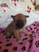 Pomsky Puppies for sale in CA-1, Mill Valley, CA 94941, USA. price: NA
