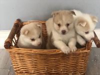 Pomsky Puppies for sale in Carnegie Hall, New York, NY 10019, USA. price: NA