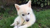 Pomsky Puppies for sale in Sacramento, CA, USA. price: NA