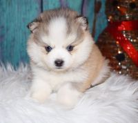 Pomsky Puppies for sale in Fort Wayne, IN, USA. price: NA