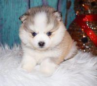 Pomsky Puppies for sale in Auburn, WA, USA. price: NA