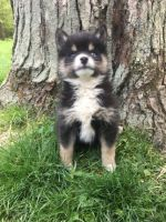 Pomsky Puppies for sale in Boston, MA, USA. price: NA