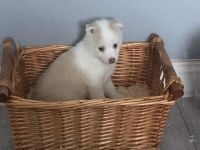 Pomsky Puppies for sale in New York, NY, USA. price: NA