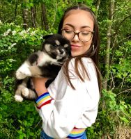 Pomsky Puppies for sale in Charlotte, NC, USA. price: NA
