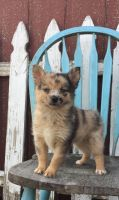 Pomsky Puppies for sale in Charlestown, RI, USA. price: NA