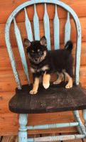 Pomsky Puppies for sale in Detroit, MI, USA. price: NA