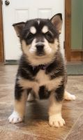 Pomsky Puppies for sale in Marysville, MI, USA. price: NA