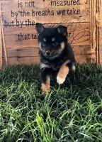 Pomsky Puppies for sale in Alabaster, AL, USA. price: NA