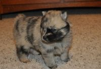 Pomsky Puppies for sale in Worcester St, Framingham, MA, USA. price: NA
