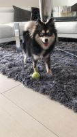 Pomsky Puppies for sale in Hialeah, FL, USA. price: NA