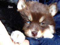 Pomsky Puppies for sale in Elkland, MO 65644, USA. price: NA
