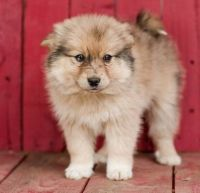 Pomsky Puppies for sale in Tallahassee, FL, USA. price: NA