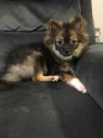 Pomsky Puppies for sale in Las Vegas, NV, USA. price: NA