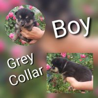 Pomsky Puppies for sale in Pikeville, TN 37367, USA. price: NA