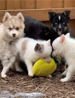 Pomsky Puppies for sale in Boise, ID, USA. price: NA